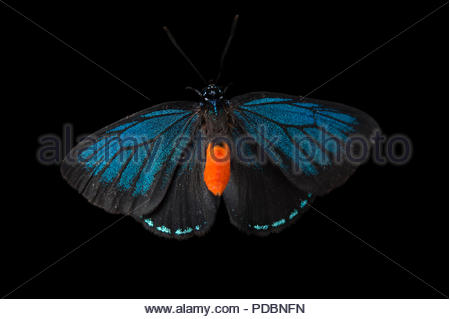 Atala butterfly, Eumaeus atala, at the McGuire Center of the Florida Museum of Natural History. - Stock Image
