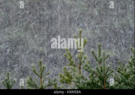 Scots pine (Pinus sylvestris) trees in flurry of snow. Cairngorms National Park, Scotland. February. - Stock Image