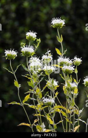 White flowers of the summer blooming perennial bergamot, Monarda 'Snow Maiden' - Stock Image
