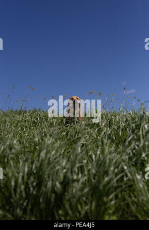 Dog Sitting in Tall grass with stick in mouth and blue sky - Stock Image