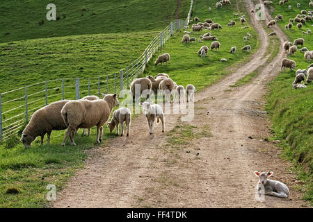 Sheep heavy with wool and lambs still with their tails backlit on a country road. - Stock Image