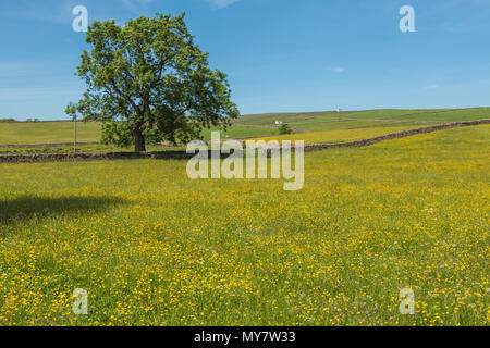Upper Teesdale landscape, flowering hay meadows, dry stone walls and whitewashed barns at Bowlees, North Pennines AONB, UK - Stock Image