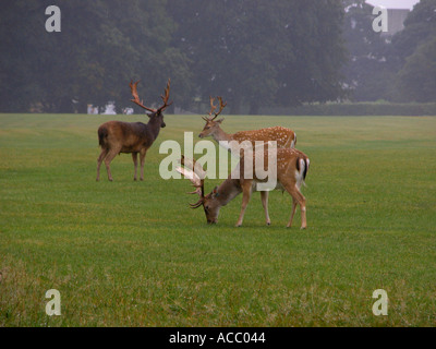 European Fallow Deer ( Dama dama dama ), animal in the rain and mist, Phoenix Park, Dublin, Republic of Ireland, - Stock Image