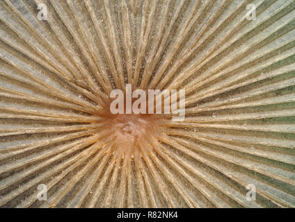 Close up of the detail in the top of a parasol mushroom. Tipperary, Ireland - Stock Image