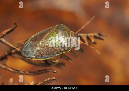 Overwintering Gorse Shieldbug (Piezodorus lituratus) perched on dead fern. Tipperary, Ireland - Stock Image