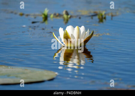 White Water Lily floating on blue water in Danube Delta. Nenuphar (Nymphaea alba) - Stock Image