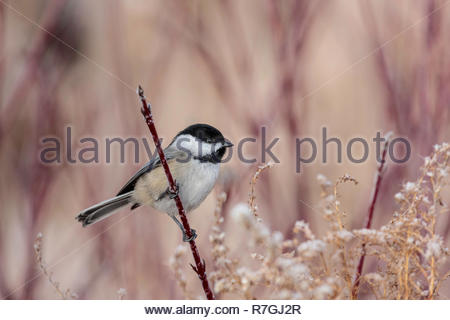 Black-capped chickadee Poecile atricapillus at Lynde Shores Conservation Area in Whitby Ontario Canada - Stock Image
