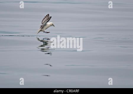 Northern fulmar (Fulmarus glacialis) adult landing on calm sea. Western Isles, Scotland. May. - Stock Image