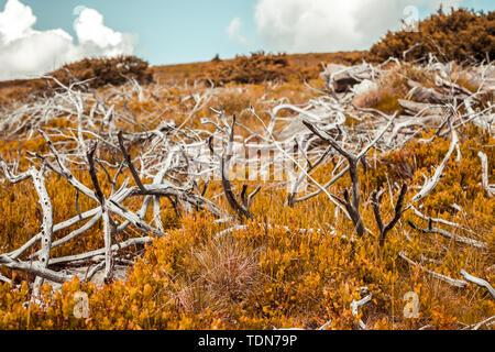 dried branches in the golden grass - Stock Image
