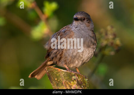 Dunnock (Prunella modularis) perched on the cut stump of a small tree - Stock Image