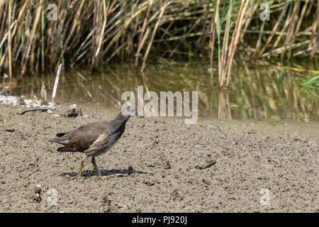 Older moorhen duckling (Gallinula chloropus) walking through dried up marsh land river bed in summer - Stock Image
