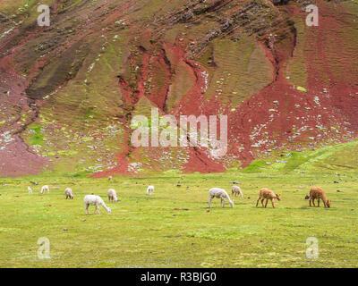 A group of Llamas near the Vinicunca mountain (The Rainbow Mountain) - Stock Image