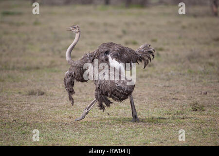 Adult female Masai Ostrich Struthio camelus massaicus displaying in a show of strength and dominance to ward off predators in the African savannah - Stock Image