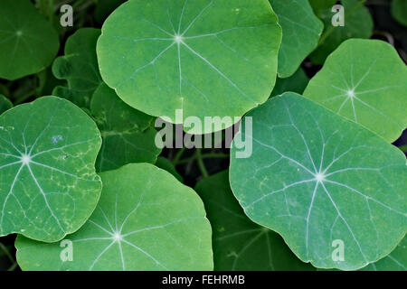 Bright green nasturtium leaves. - Stock Image