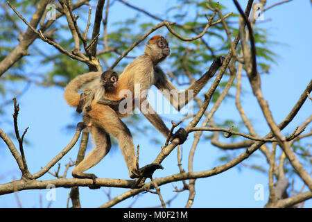 Central American Spider Monkey female with baby (Ateles geoffroyi). Santa Rosa National Park, Guanacaste, Costa - Stock Image