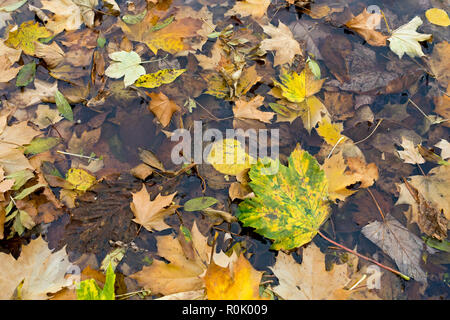 Fallen leaves floating on a pond England UK United Kingdom GB Great Britain - Stock Image