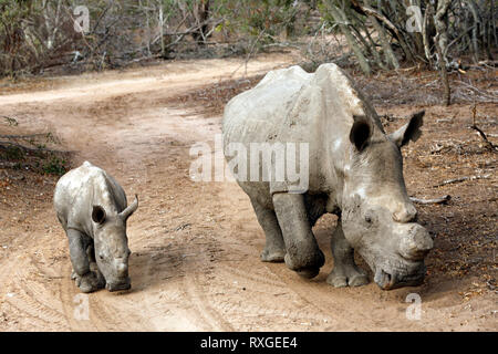 White Rhino (Ceratotherium simum) with Calf, on Dirt Road. Modlito Game Reserve, Kruger Park, South Africa - Stock Image