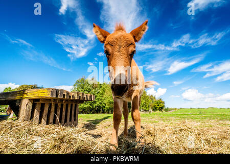 Cute mule standing in a farm yard with hay in the summer under a blue sky - Stock Image
