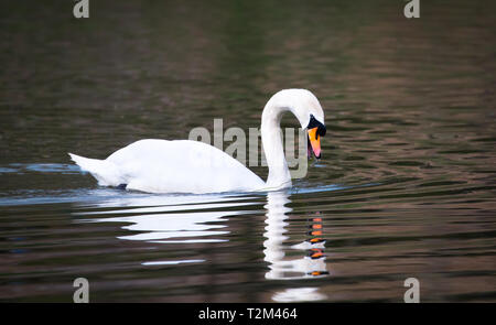 A mute swan (Cygnus olor) swims in the River Severn and eats aquatic plants in Shrewsbury, Shropshire, England. - Stock Image