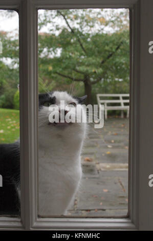 cat sitting at window meowing to come in - Stock Image