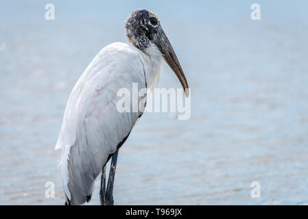Wood stork at the Guana Tolomato Matanzas National Estuarine Research Reserve (GTM Research Reserve) in Ponte Vedra Beach, Florida. (USA) - Stock Image
