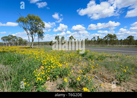 Yellow wildflowers growing along the Carnarvon Highway, Queensland Interior, QLD, Australia - Stock Image