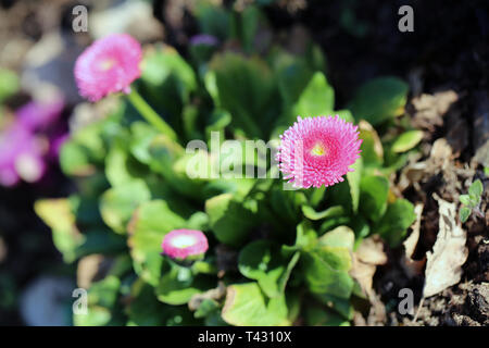Pink chrysanthemum flowers in a closeup image taken during a sunny spring day in Nyon, Switzerland. In this photo you see multiple chrysanthemums. - Stock Image