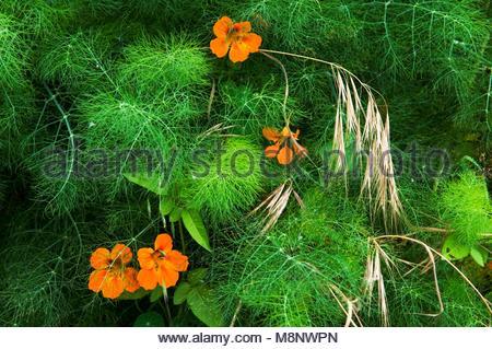 El Hierro, Canary Islands, Spain. Flora & fauna. Nasturtium flowers growing through dill herb Anethum graveolens - Stock Image