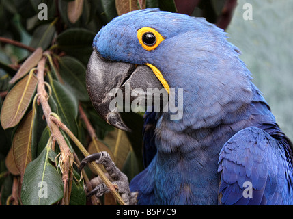 This is a Hyacinth Macaw Parrot. He is very friendly, he loves attention and is quite the poser. - Stock Image