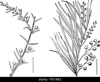 . Ornamental shrubs of the United States (hardy, cultivated). Shrubs. THE ACACIAS 133. Fio. 170. — Needle-leaved Acacia. Fig. 171. —Broom Wattle.. Please note that these images are extracted from scanned page images that may have been digitally enhanced for readability - coloration and appearance of these illustrations may not perfectly resemble the original work.. Apgar, A. C. (Austin Craig), 1838-1908; Draycott, Ada (Apgar). New York, Cincinnati [etc] American Book Company - Stock Image