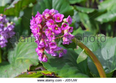Bergenia cordifolia Purpurea (elephant-eared saxifrage, elephant's ears) is a flowering plant in the family - Stock Image