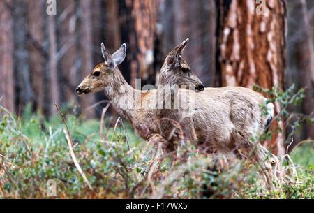 Two Mule deers (Odocoileus hemionus), in Yosemite National Park, California, USA - Stock Image