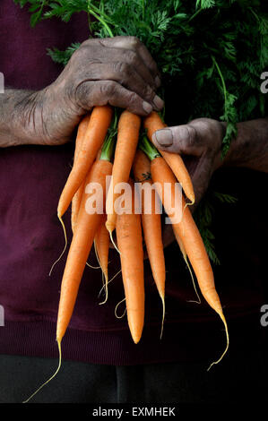 A farmer or gardener holding a bunch of carrots - Stock Image