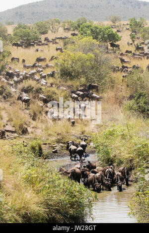 Western White-bearded Wildebeest (Connochaetes taurinus mearnsi) crossing the Sand River - Stock Image