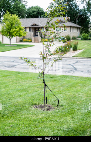 A newly planted and staked crabapple tree, Malus, in a lawn of fescue. Wichita, Kansas, USA - Stock Image