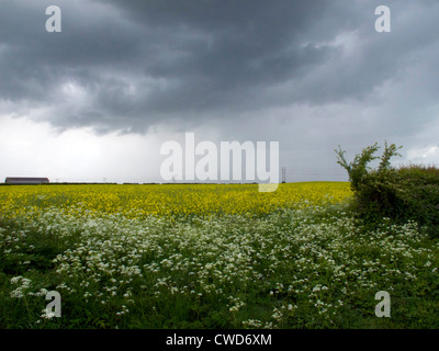 Rain storm clouds over farm land and crop of yellow oil seed rape.Footpath in foreground with hogweed - Stock Image
