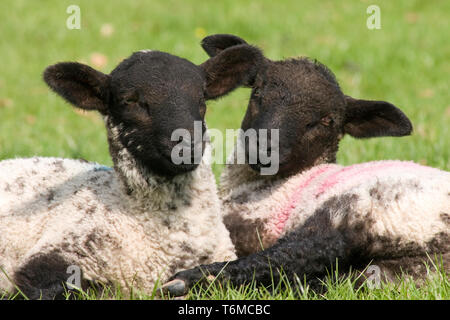 pair of black faced Suffolk cross lambs sitting together in field, Yorkshire Dales, England - Stock Image