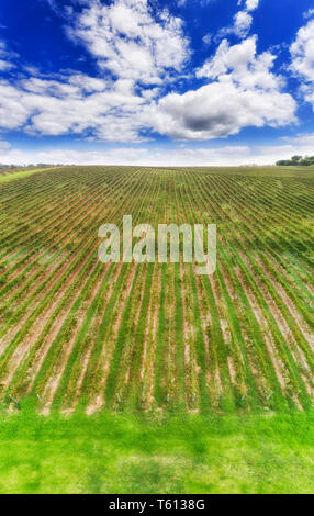 Straight rows of vines on green cultivated vineyard in Hunter valley wine making region of Australia - vertical panorama uphill under blue sky. - Stock Image