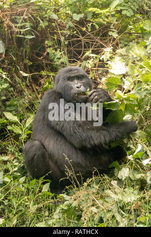 mountain gorilla, Gorilla beringei beringei, Bwindi Impenetrable Forest National Park, Uganda - Stock Image