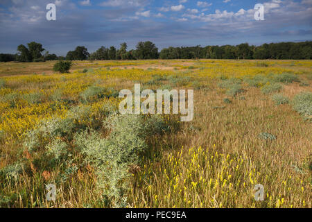 Flowering meadow, grasslands in the floodplain near Dessau, Middle Elbe Biosphere Reserve, Saxony-Anhalt, Germany - Stock Image