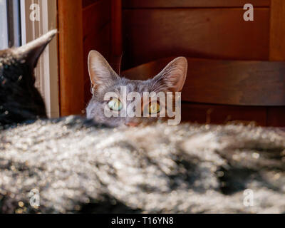 Gray tabby cat eyes visible with balck tabby in foreground. - Stock Image