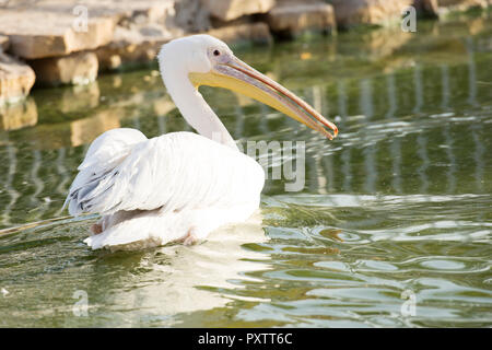 white pelican on water - Stock Image