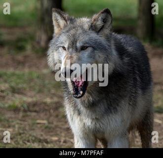 Alpha male grey (gray) wolf(Canis lupus), aka thetimber wolf orwestern wolf. Acaninenative - Stock Image