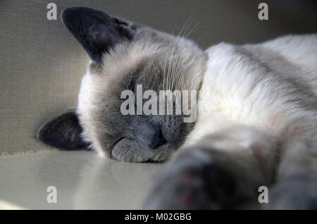 A siamese kitten snoozes in the adoption part of the animal shelter. - Stock Image