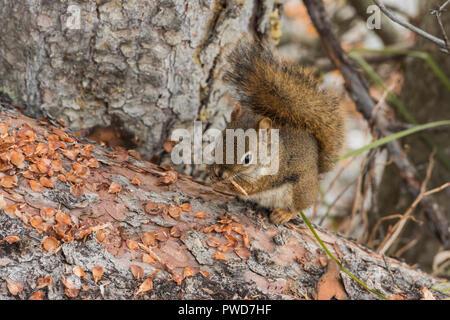 Red Squirrel, Johnson Lake, Banff National Park, Alberta, Canada - Stock Image