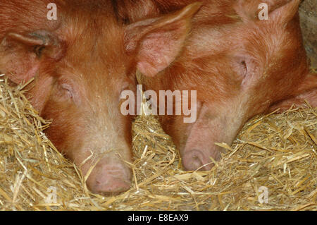 2 pink pigs sleeping on hay - Stock Image