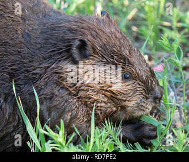 Beaver (Castor canadensis) feeding on herbaceous vegetation - Stock Image