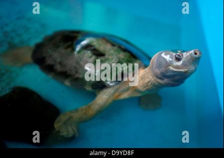 Male Painted terrapin (Batagur borneoensis) at turtle Rearing and Rehabilitation Center, Brunei - Stock Image