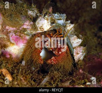 Paguristes ulreyi, Furry hermit crab - Stock Image