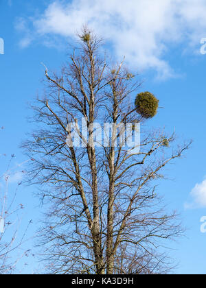 European mistletoe (Viscum album) growing on a leafless Common Beech Tree – (Fagus sylvatica) in winter - Stock Image